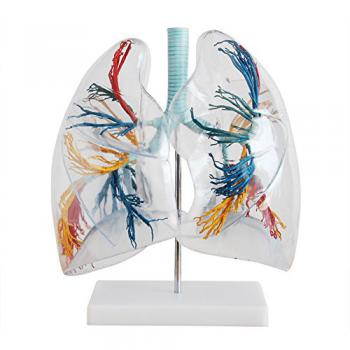 Trasparente Lung Model polmoni anatomia Lung Teaching Model la distribuzione dell' albero bronchiale